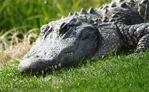 http://static.vip.hr/portal/slike/1829668_aligator-v.jpg